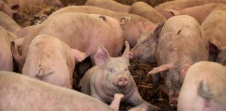 ELMA, IA - JULY 25: Hogs are raised on the farm of Roger Dietrich on July 25, 2018 near Elma, Iowa. Dietrich raises hogs in a traditional manner, outdoors, without antibiotics for the specialty pork market. According to the Iowa Pork Producers Association, Iowa is the number one pork producing state in the U.S. and the top state for pork exports. The state sends about 50 million hogs to market each year and its pork exports totaled more than $1.1 billion in 2017. Pork producers in Iowa are bracing for the impact a trade war with China and Mexico may have on their bottom line going forward. (Photo by Scott Olson/Getty Images)