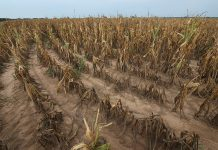 NEW HARMONY, IN - AUGUST 03: Drought-damaged corn sits in a field August 4, 2012 near New Harmony, Indiana. More than half of the counties in the United States have been designated disaster areas, mostly due to drought conditions throughout the Midwest. (Photo by Scott Olson/Getty Images)