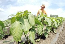 Sombor,18.juna 2014.- Proizvodnja konzumne paprike na otvorenom polju. FOTO TANJUG/ JAROSLAV PAP/ nr
