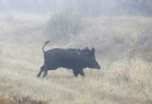 CANDELARIA, TEXAS - JANUARY 16: A boar is seen on running near the Rio Grande river which marks the border between Mexico and the United States on January 16, 2019 in Candelaria, Texas. The U.S. government is partially shut down as President Donald Trump is asking for $5.7 billion to build additional walls along the U.S.-Mexico border and the Democrats oppose the idea. (Photo by Joe Raedle/Getty Images)